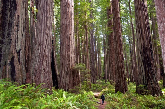 coast-redwoods
